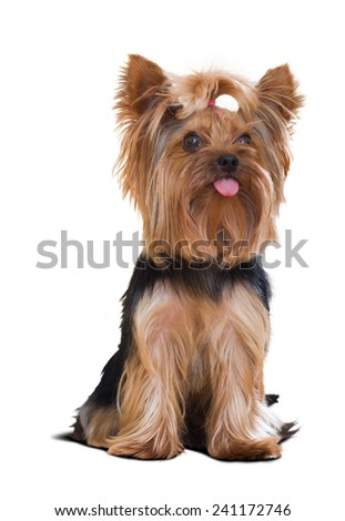 Portrait of a small Yorkshire Terrier dog. Isolated over white background - stock photo