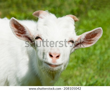 Portrait of a smiling goat, close up - stock photo