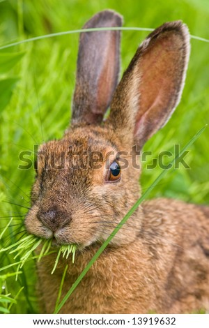 Portrait of a Snowshoe Hare (Lepus Americanus) munching on grass - stock photo