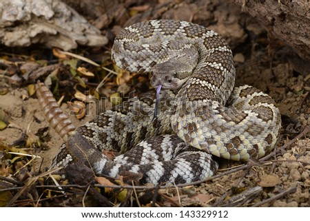 Portrait of a Southern Pacific Rattlesnake.