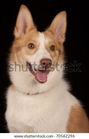 portrait of a spitz isolated on black - stock photo