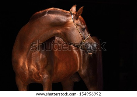 Portrait of a splendid purebred Arabian stallion against a black background - stock photo