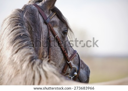 Portrait of a sports stallion in a brown bridle. - stock photo