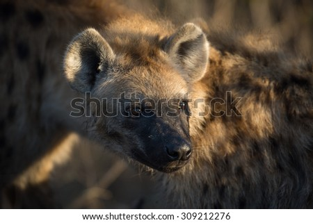 Portrait of a spotted hyena at a giraffe kill in Sabi Sands, South Africa