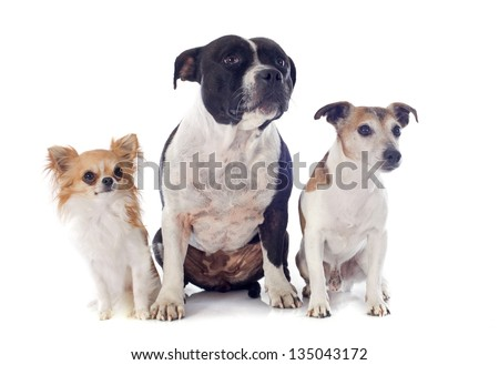 portrait of a staffordshire bull terrier, chihuahua and jack russel terrier in front of white background