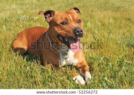 portrait of a staffordshire bull terrier laid down in the grass