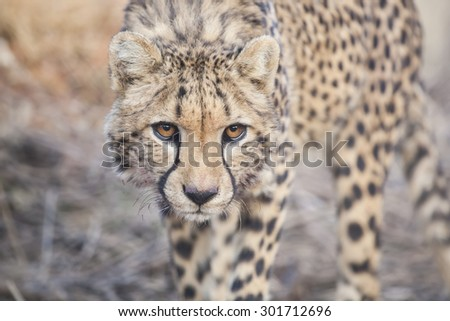 portrait of a stalking cheetah close up - stock photo