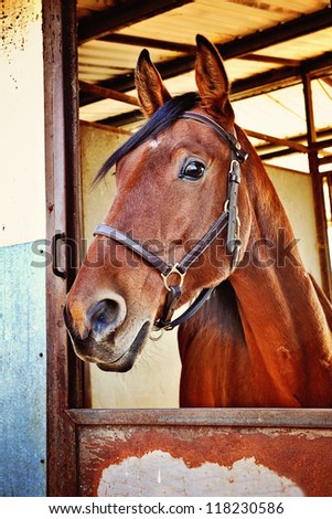 Portrait of a Standardbred Gelding - stock photo