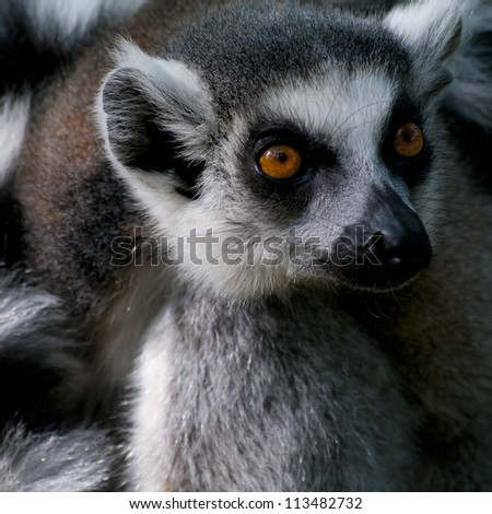 Portrait of a staring ring-tailed lemur