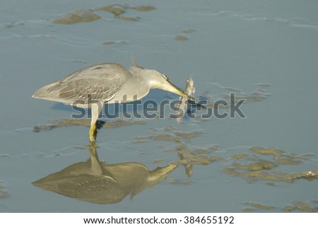 Portrait of a Striated Heron with a Mud Skipper - stock photo