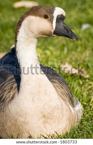 Portrait of a swan in the grass - stock photo