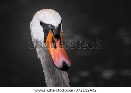 Portrait of a swan on lake Hallwil.