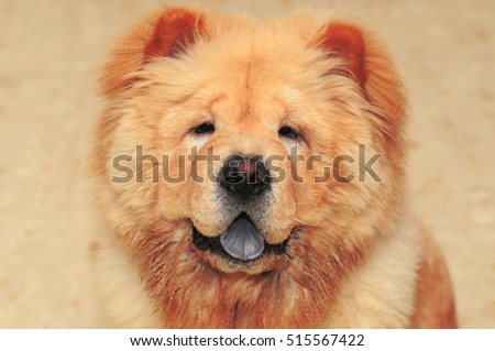 Portrait of a sweet Chow Chow dog in front of brown background. Selective focus