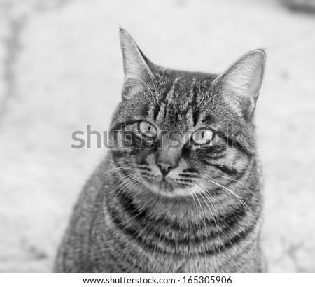 Portrait of a tabby gray cat - stock photo