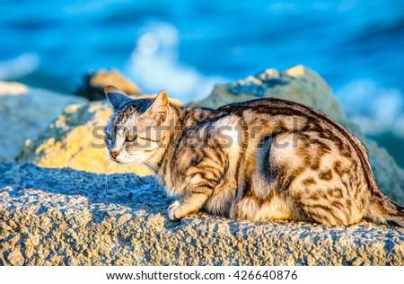 Portrait of a tabby gray cat (leopard fur-patterned cat) - stock photo