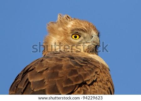 Portrait of a Tawny eagle (Aquila rapax), South Africa - stock photo