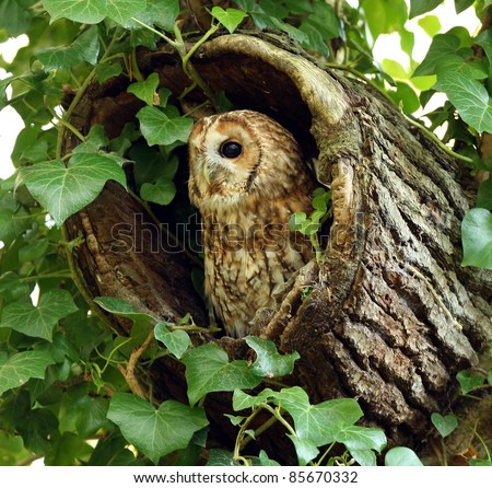 Portrait of a Tawny Owl in a hollow tree stump - stock photo