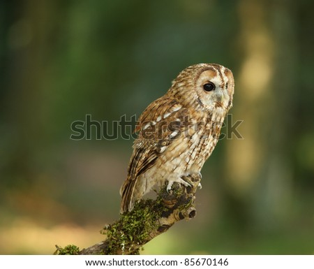 Portrait of a Tawny Owl in woodland - stock photo