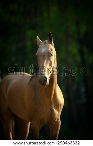 Portrait of a thoroughbred akhal-teke stallion in summer - stock photo