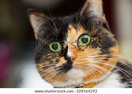 Portrait of a three colored cat - stock photo