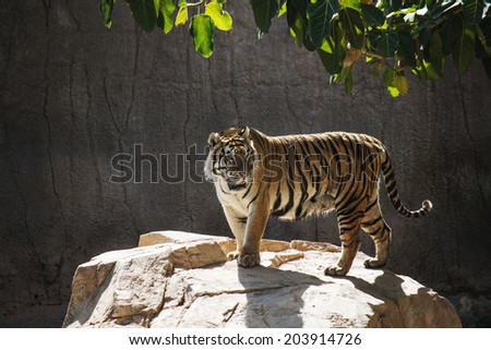 Portrait of a tiger alert in the water - stock photo