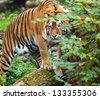 Portrait of a tiger in the summer - stock photo