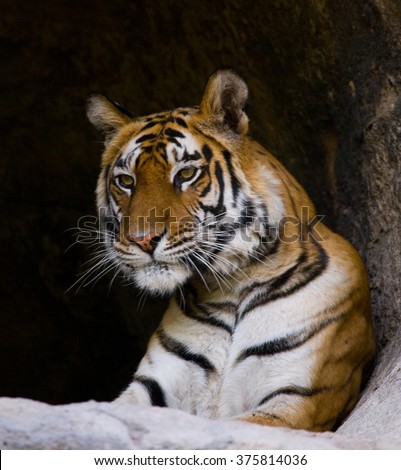 Portrait of a tiger in the wild. India. Bandhavgarh National Park. Madhya Pradesh. An excellent illustration.
