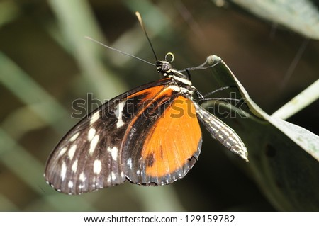 Portrait of a Tiger Longwing butterfly (Heliconius hecale) in a ventral view - stock photo