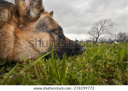 Portrait of a tired German Shepherd resting on the grass - stock photo