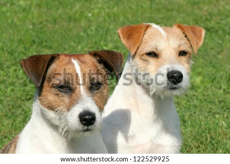 Portrait of a two Russell Terriers