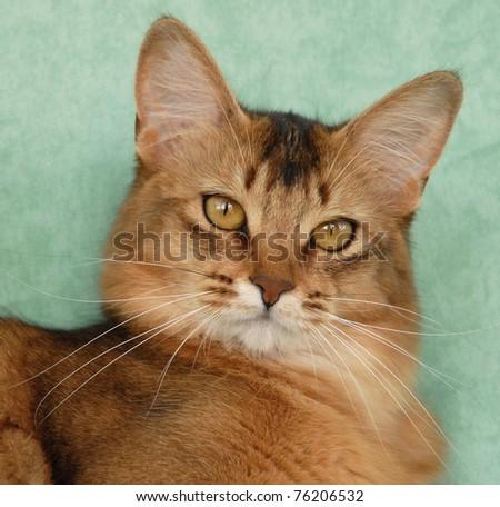 Portrait of a usual Somali female cat - stock photo