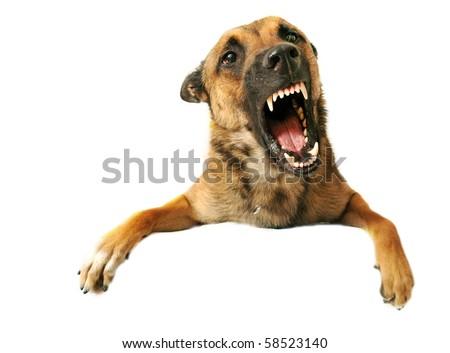 portrait of a very angry purebred belgian shepherd malinois - stock photo