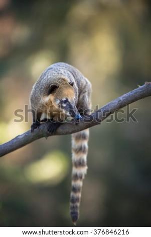 portrait of a very cute White-nosed Coati (Nasua narica) aka Pizote or Antoon. Diurnal, omnivore mammal - stock photo