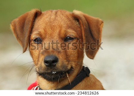 portrait of a vizsla puppy over green out of focus background - stock photo