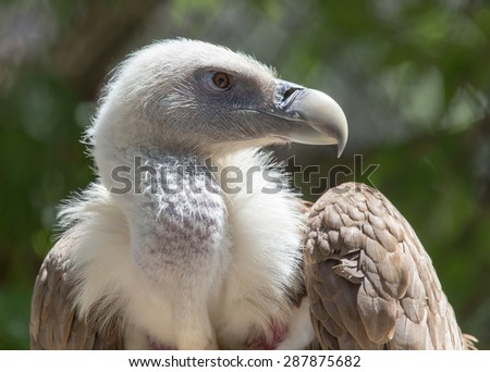 Portrait of a vulture in a zoo