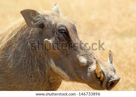 Portrait of a warthog (Phacochoerus africanus), side view - stock photo
