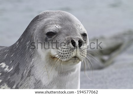 Portrait of a Weddell seal lying on one of the Antarctic islands 1 - stock photo