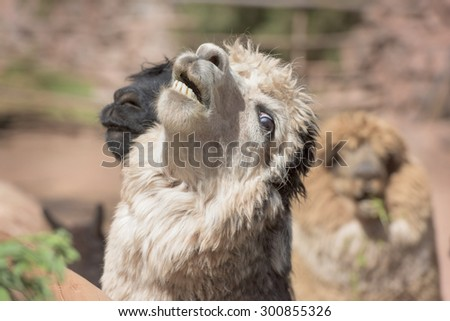 Portrait of a white and black Alpaca and Llama - stock photo