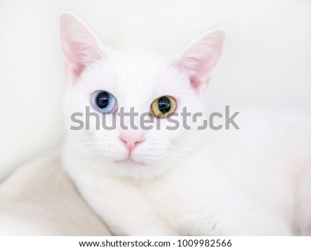 Portrait of a white cat with heterochromia, one blue eye and one yellow eye