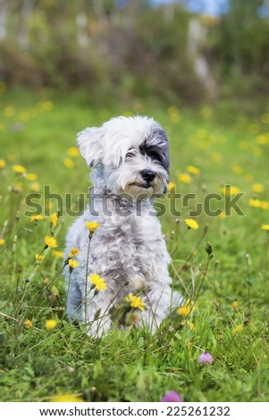 portrait of a white dog sitting in a field of flowers - stock photo