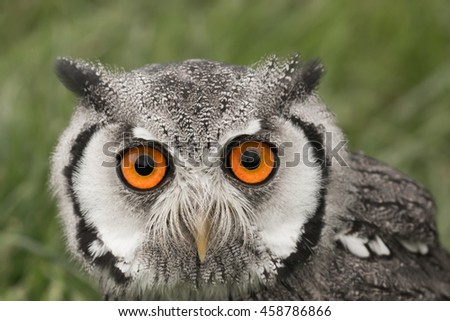 Portrait of a white faced scops owl - stock photo