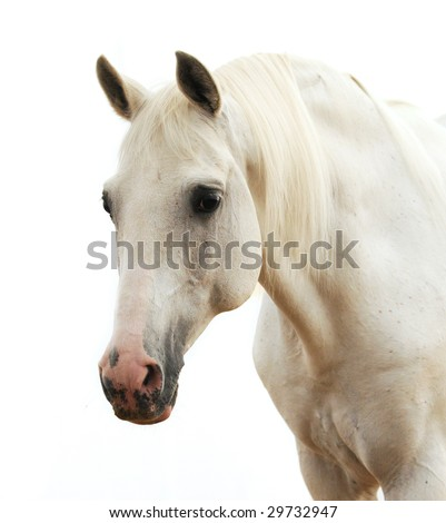 Portrait of a white horse isolated on white - stock photo
