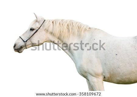 Portrait of a white horse on white background. - stock photo