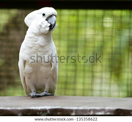 Portrait of a white parrot
