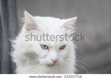 Portrait of a white persian cat with different color eyes. - stock photo