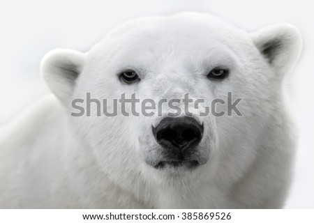 Portrait of a white polar bear.