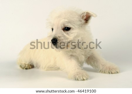 Portrait of a White West Highland Terrier