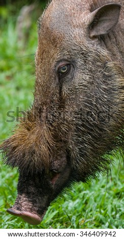 Portrait of a wild boar. The island of Kalimantan. Indonesia. An excellent illustration