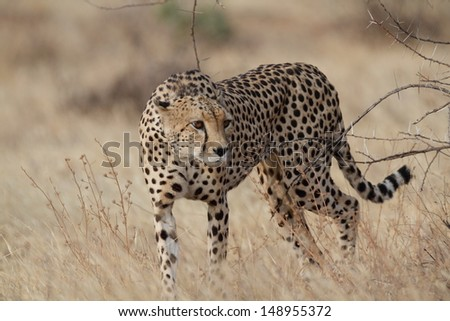 Portrait of a wild cheetah - stock photo