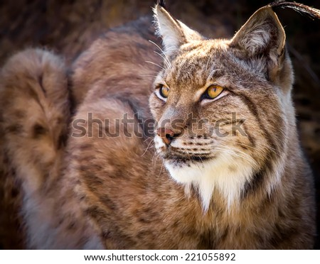 Portrait of a wild Iberian lynx - stock photo